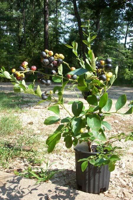 climax blueberry plant fruit bearing 2 3 blueberries