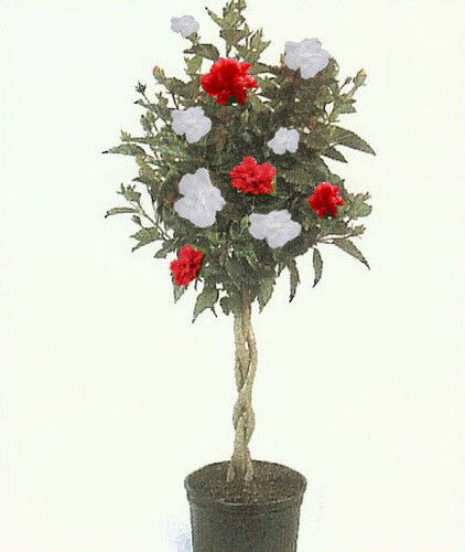 Rose Of Sharon Tree 3 N 1 Plant Different Colors Double