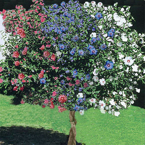 Rose Of Sharon 3 In 1 Hibiscus Blast Of Color One Plant A Work Of