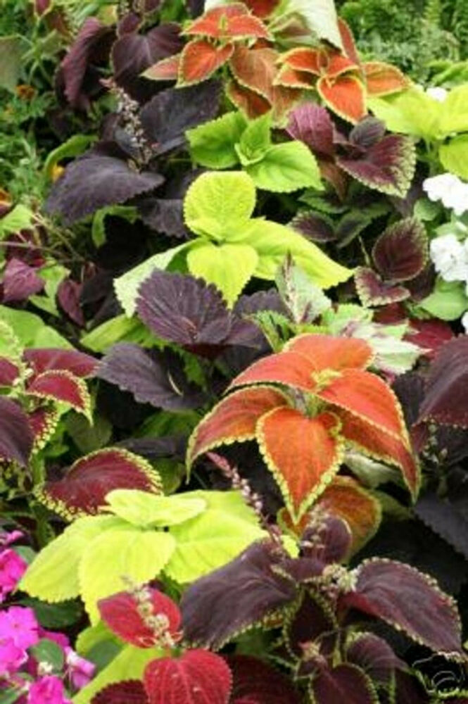 150 coleus seeds rainbow mix decorative plant gardening for Growing rainbow roses from seeds