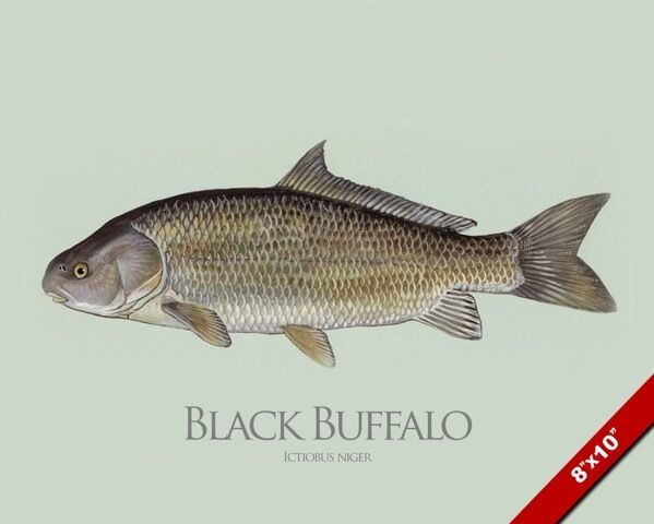Black buffalo sucker fish painting fishing art real canvas for Sucker fish pictures