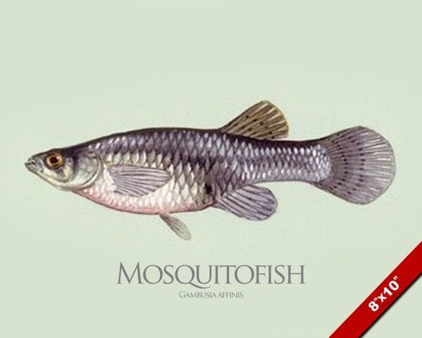Mosquitofish gambusia fish painting american fishing art for Mosquito fish for sale
