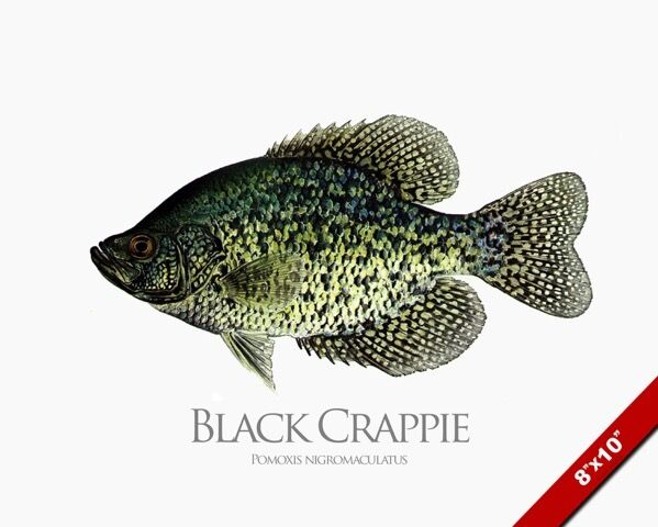 Black crappie sunfish fish painting freshwater fishing art for Crappie fish facts