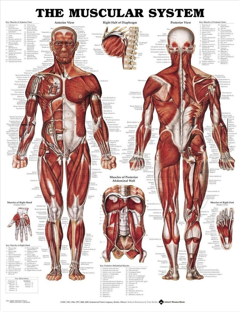 Male Muscular System Laminated Poster 66x51cm Anatomical Chart