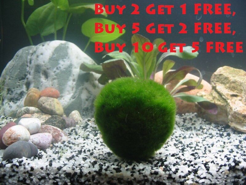 Large marimo moss ball 1 inches live cladophora moss for Betta fish moss ball