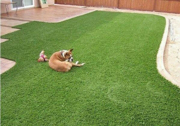 how to grow grass where dogs run
