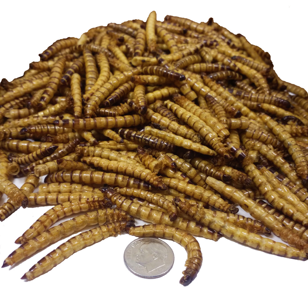 Giant mealworms freeze dried koi pond fish large fish for Mealworms for fishing