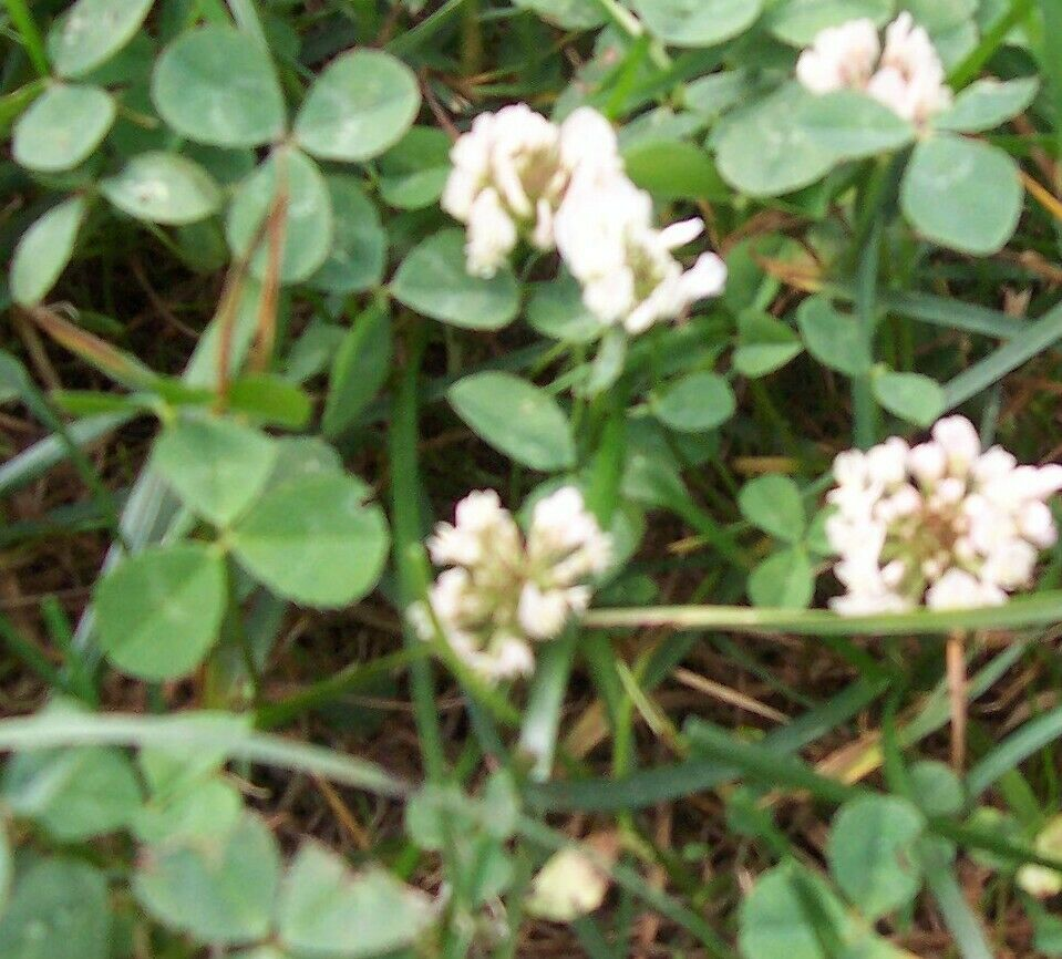 Low Growing Ground Cover: DUTCH CLOVER 1 Lb Seed Lawn Groundcover Seeds Low Growing