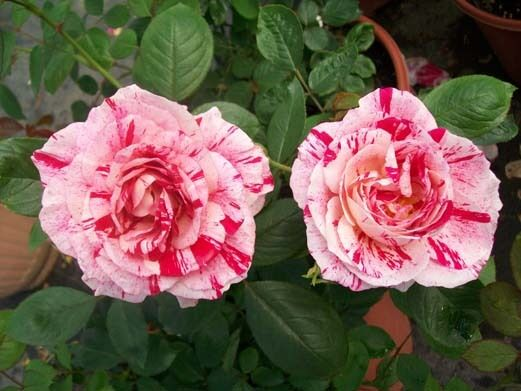 Scentimental Striped Fragrant Rose 3gal Live Bush Plants
