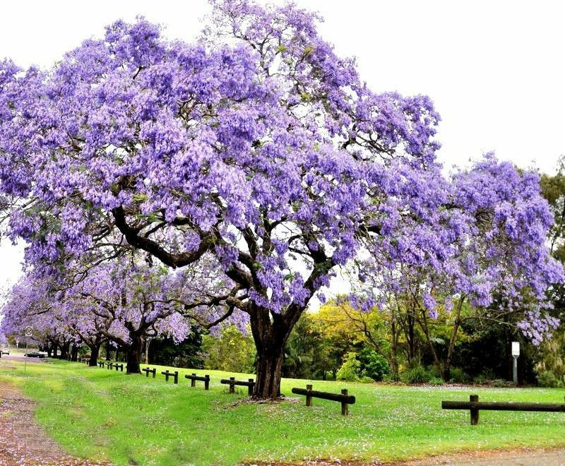 100 paulownia seeds princess royal tree tomentosa fastest for Fast growing trees