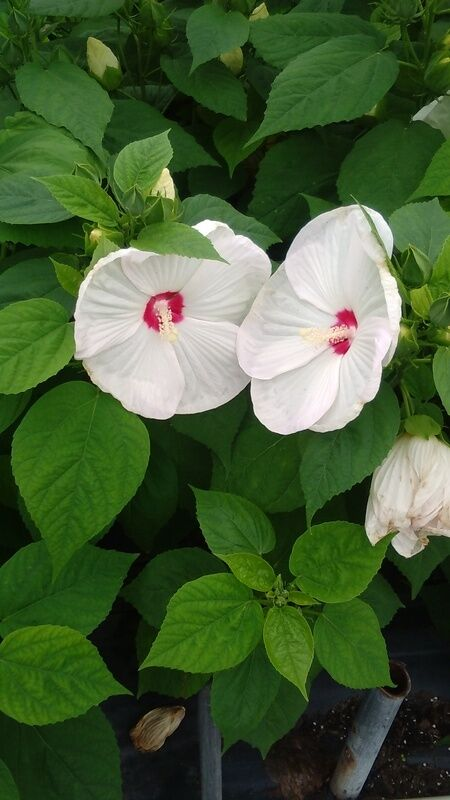 White Hardy Hibiscus 3 Gal Large Plant Huge Flowers Easy