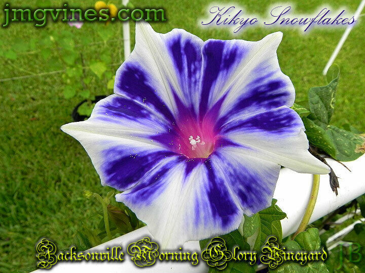 kikyo snowflakes ipomoea nil morning glory 6 seeds ebay. Black Bedroom Furniture Sets. Home Design Ideas