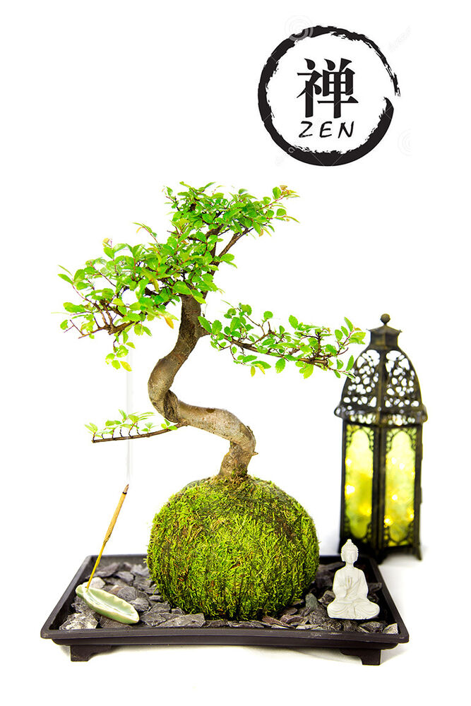 Zen garden kit live bonsai plant tree mini white buddha for Buddha decorations for the home uk