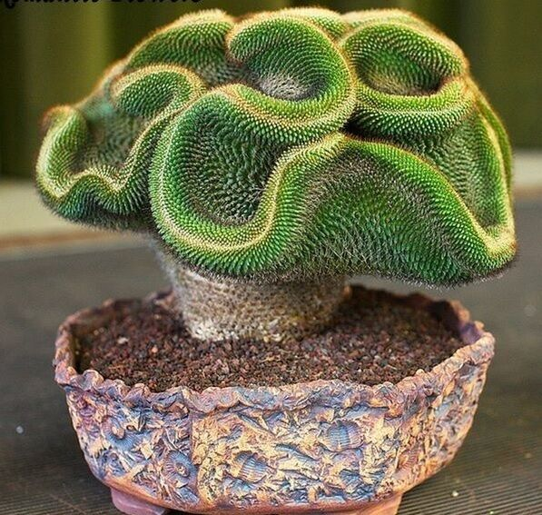 10x rare succulents coral cactus cactus new plant seed 99 yield 203 ebay. Black Bedroom Furniture Sets. Home Design Ideas