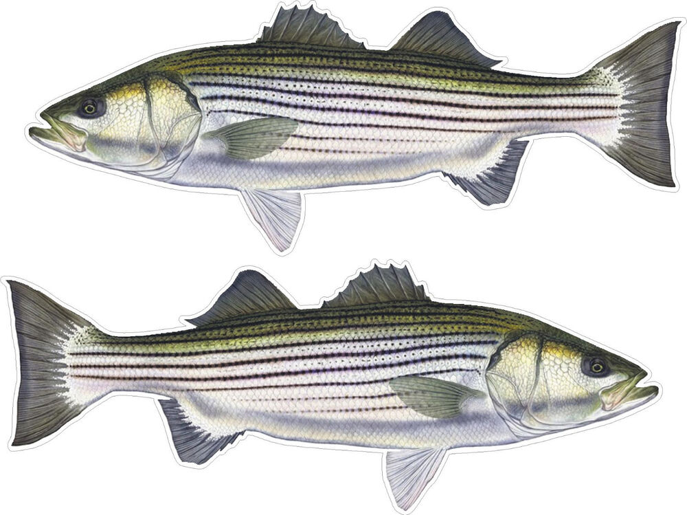 2 striped bass fish decals striper freshwater saltwater for Striper fish pictures