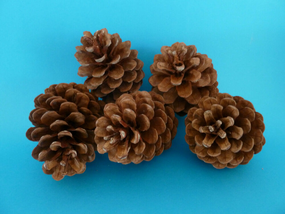 Pine cones 10 large natural pinecone christmas decorations for Large christmas pine cones