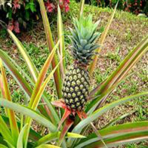 Amazoncom  Pineapple Plants White Jade Includes Four