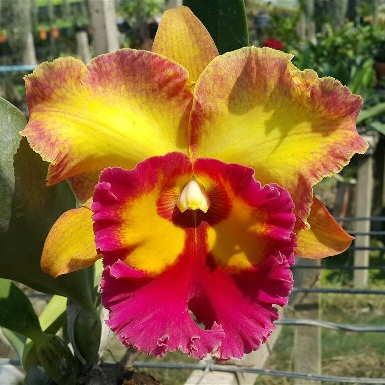 Cattleya orchid hybrid jomthong fancy blooming size from thailand ebay