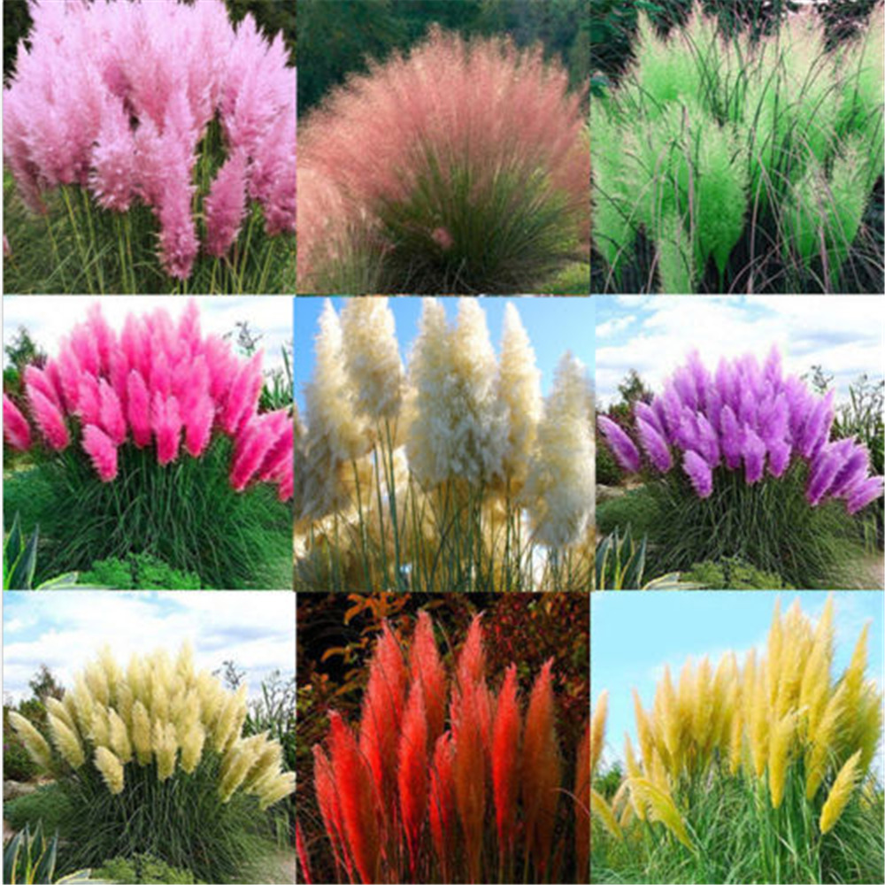 2000x pampas grass seeds ornamental plant flowers for Ornamental grass plants