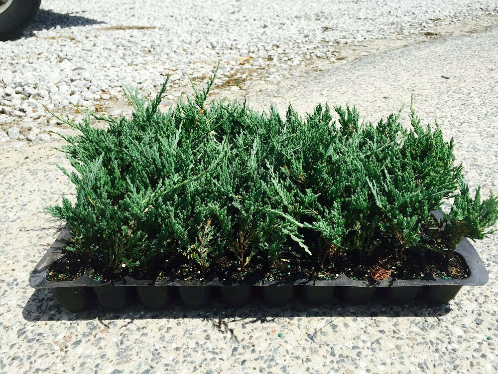 Bar Harbor Juniper Groundcover Qty 60 Live Plants
