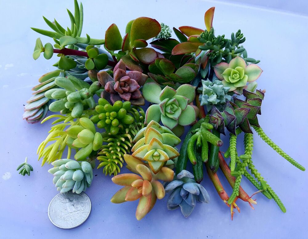 Succulent Frenzy 25 Assorted Miniature Mini Cuttings Sedum