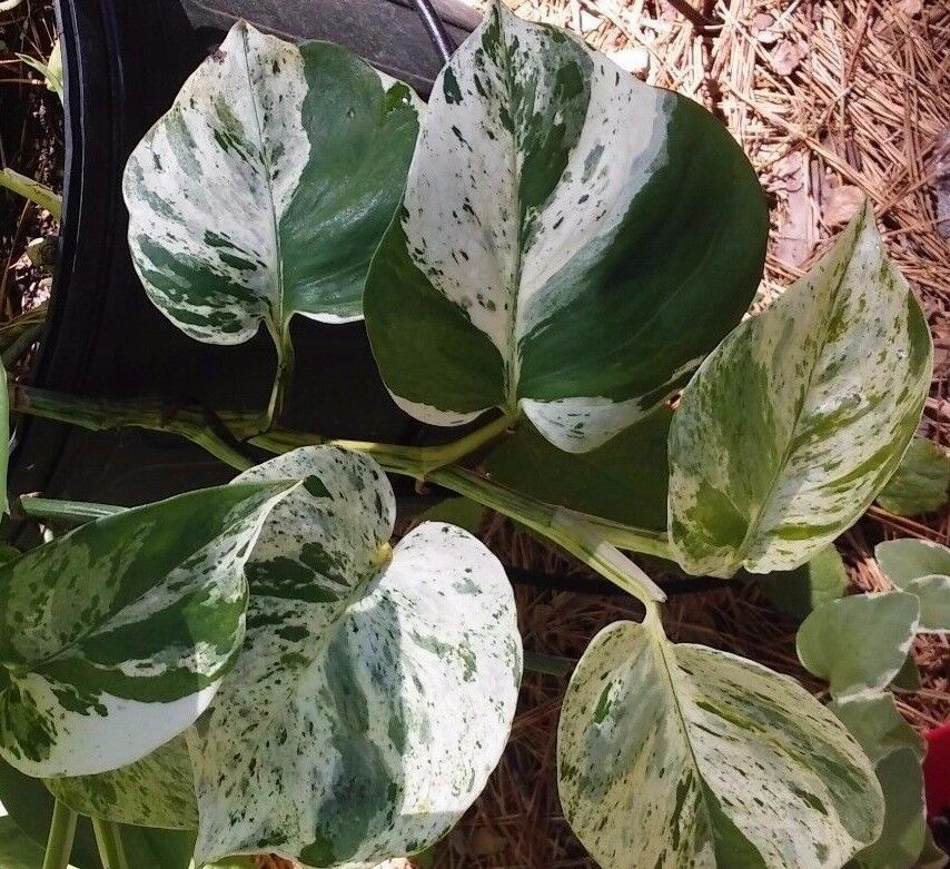 8 White Snow Marble Queen Pothos Vine Variegated Devil Ivy