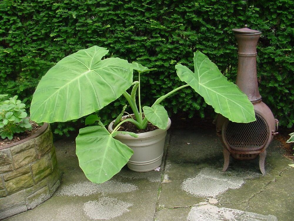 Picture of Live Colocasia gigantea - Thai Giant Elephant Ear Plant - Bac Ha, Doc Mung - 3Feet Tall Plant Fit 4 Gallon Pot
