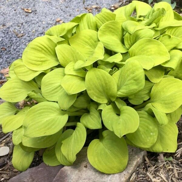 Hosta Plant Sun Mouse Buy 5 Get 1 Free My Choice Shipping Spring