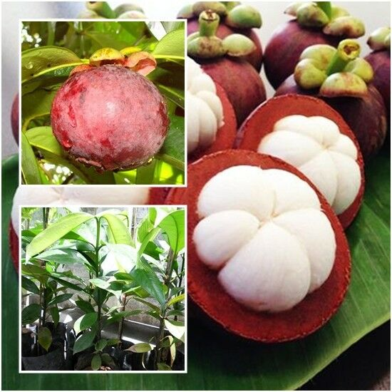 Pictures Of Fruit Mangosteen