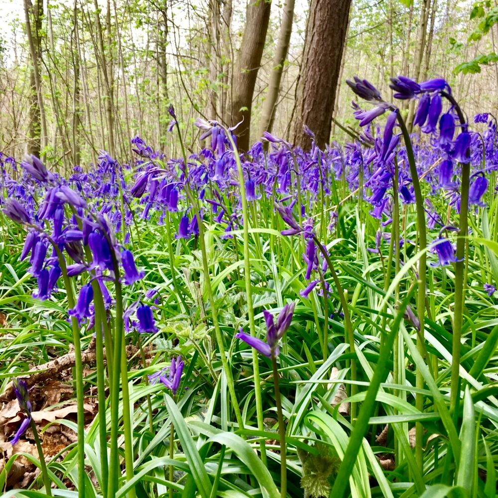 25 X English Bluebells Bulbs In The Green Spring Flowering Plants