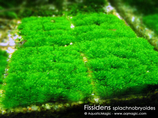 Fissidens spla live aquarium plant fish co2 tank inv ebay for Co2 fish tank