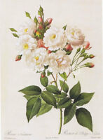 Noisette Rose Redoute Vintage Botanical CANVAS PRINT