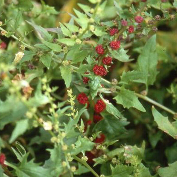 Herb Seeds - Strawberry Spinach - 250 Seeds