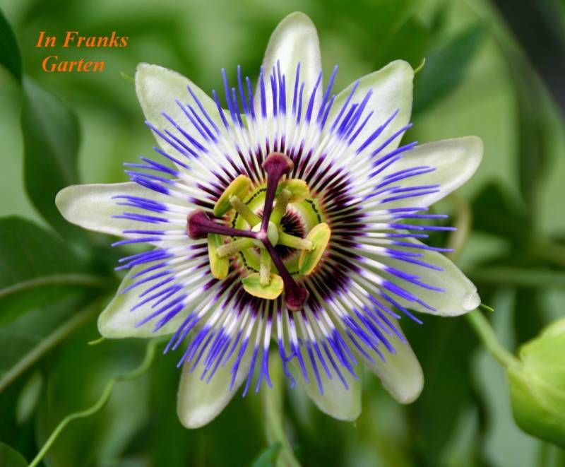 passiflora caerulea passionsblume essbare fr chte. Black Bedroom Furniture Sets. Home Design Ideas
