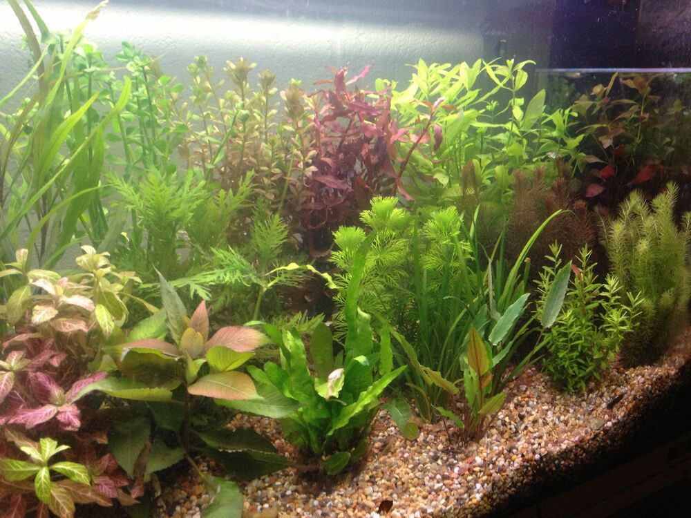 100 live aquarium aquatic tropical fish tank plants superb for Live fish tank