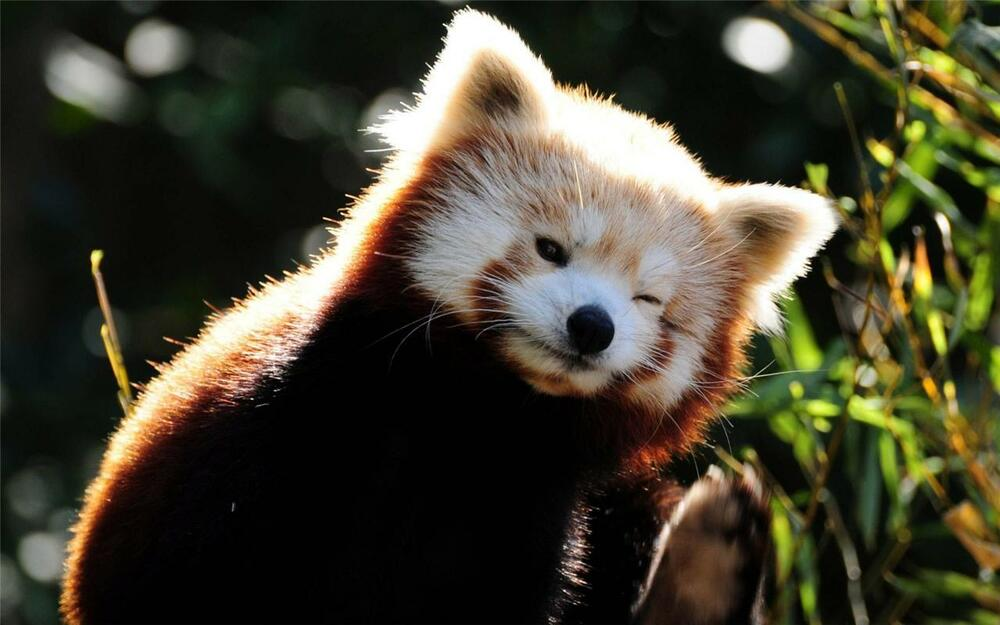 RED PANDA GLOSSY POSTER PICTURE PHOTO Baby Cub Cute Funny