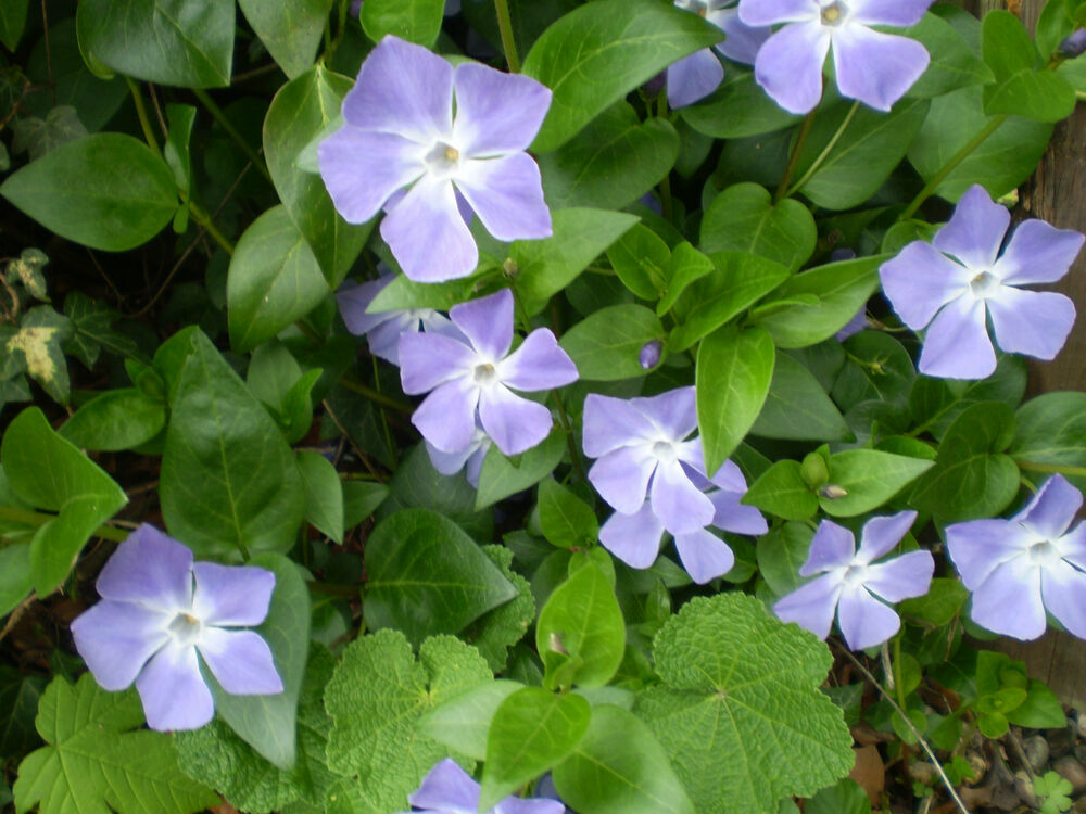 2 organic norfolk periwinkle root systems vinca major for Vinca major