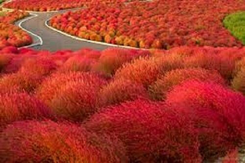 , grass burning bush seeds kochia scoparia flame red flower, Natural flower