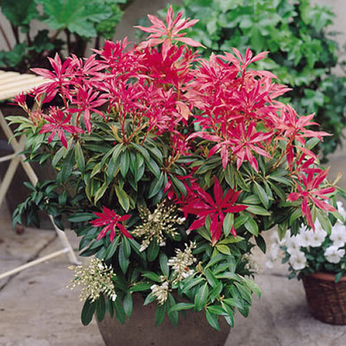 1 x pieris 39 forest flame 39 evergreen shrub hardy garden for Small evergreen flowering trees