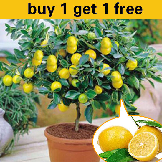 10pcs rare lemon tree indoor outdoor available heirloom for Buy a lemon tree plant