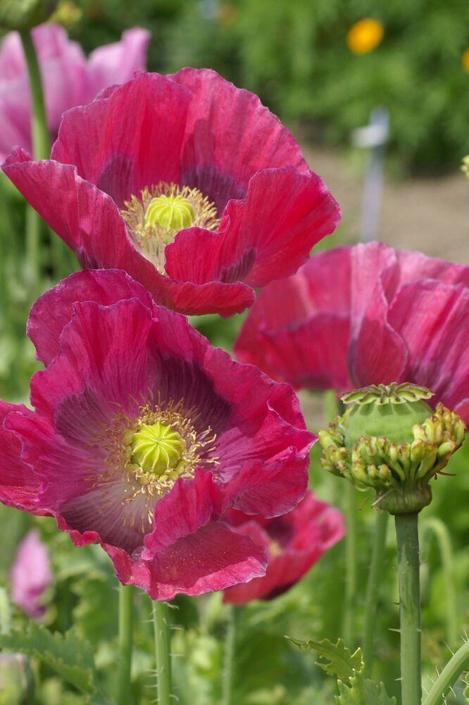 Poppy 'Hens and Chickens' Appx 500 Seeds *Free P&P* | eBay