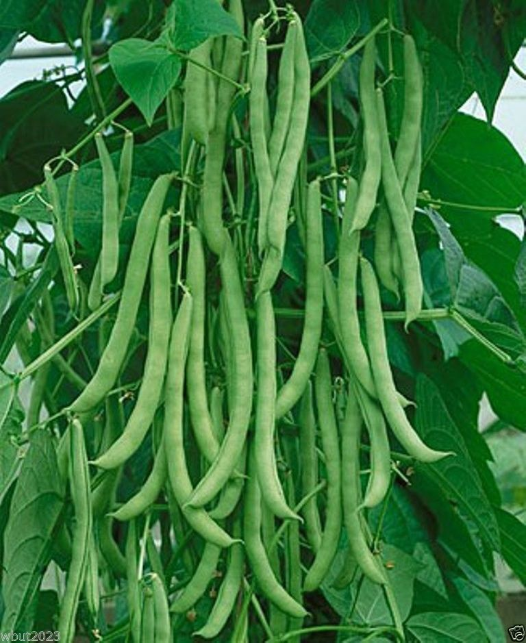 1 4 Lb Quot Kentucky Wonder Quot Pole Bean Seeds A K A Old