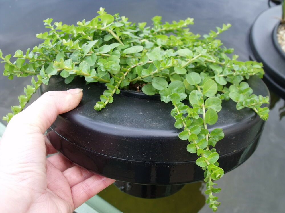 Garden pond water plant floating ring island holds 14cm for Floating plant pots