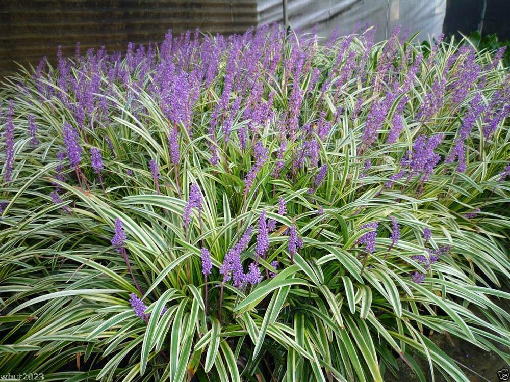 10 monkey grass seed lily turf liriope muscari for Shade decorative grass