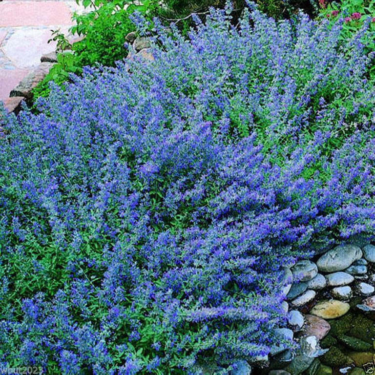 Catmint Seeds 39 Blue Wonder 39 Nepeta Mussinii Compact