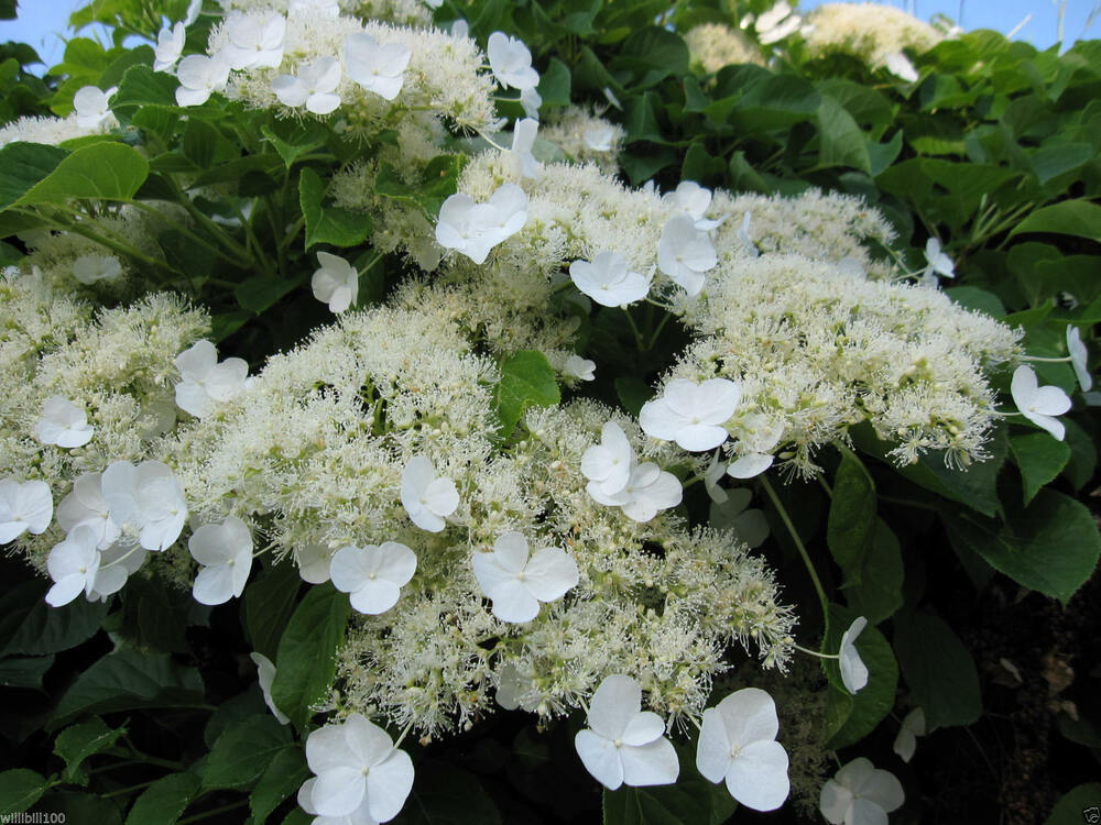 climbing hydrangea seeds hydrangea anomala petiolaris. Black Bedroom Furniture Sets. Home Design Ideas