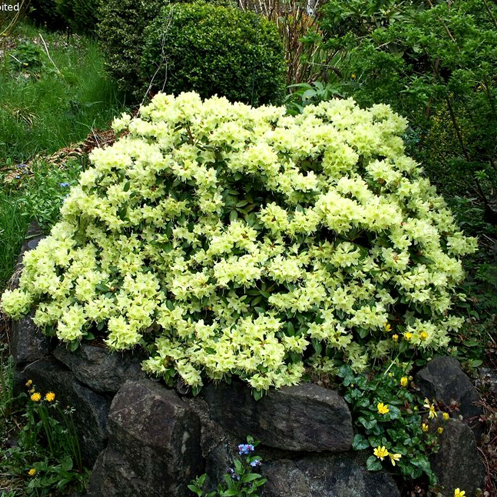 1 x rhododendron 39 shamrock 39 evergreen bushy shrub hardy for Garden shrubs