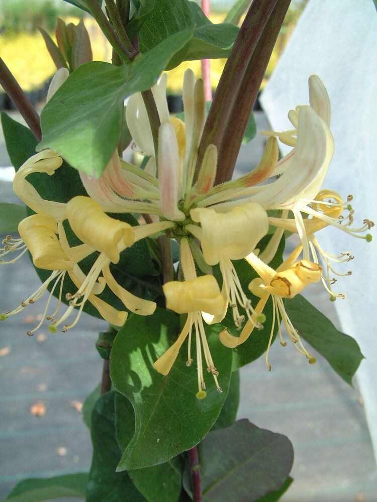 Lonicera heaven scent scented honeysuckle climbing plant ebay - Climbing plants that produce fragrant flowers ...