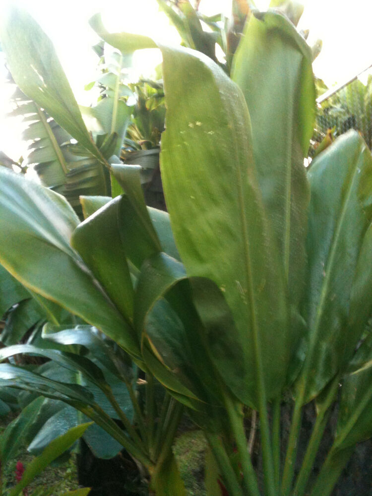 Hawaiian Plants And Flowers: TI LEAF PLANT 4 LOGS EASY TO GROW