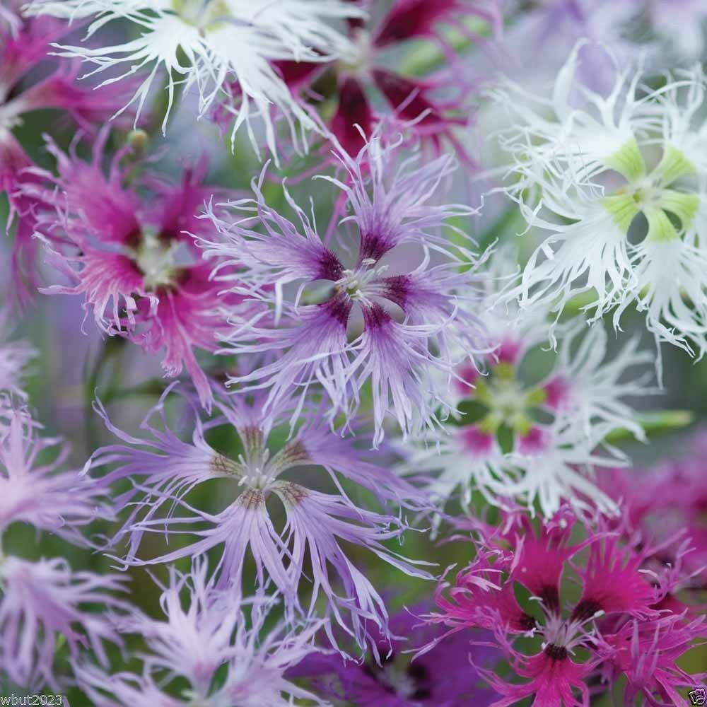 Dianthus rainbow loveliness mix 2000 flowers seeds soft for Rainbow flower seeds